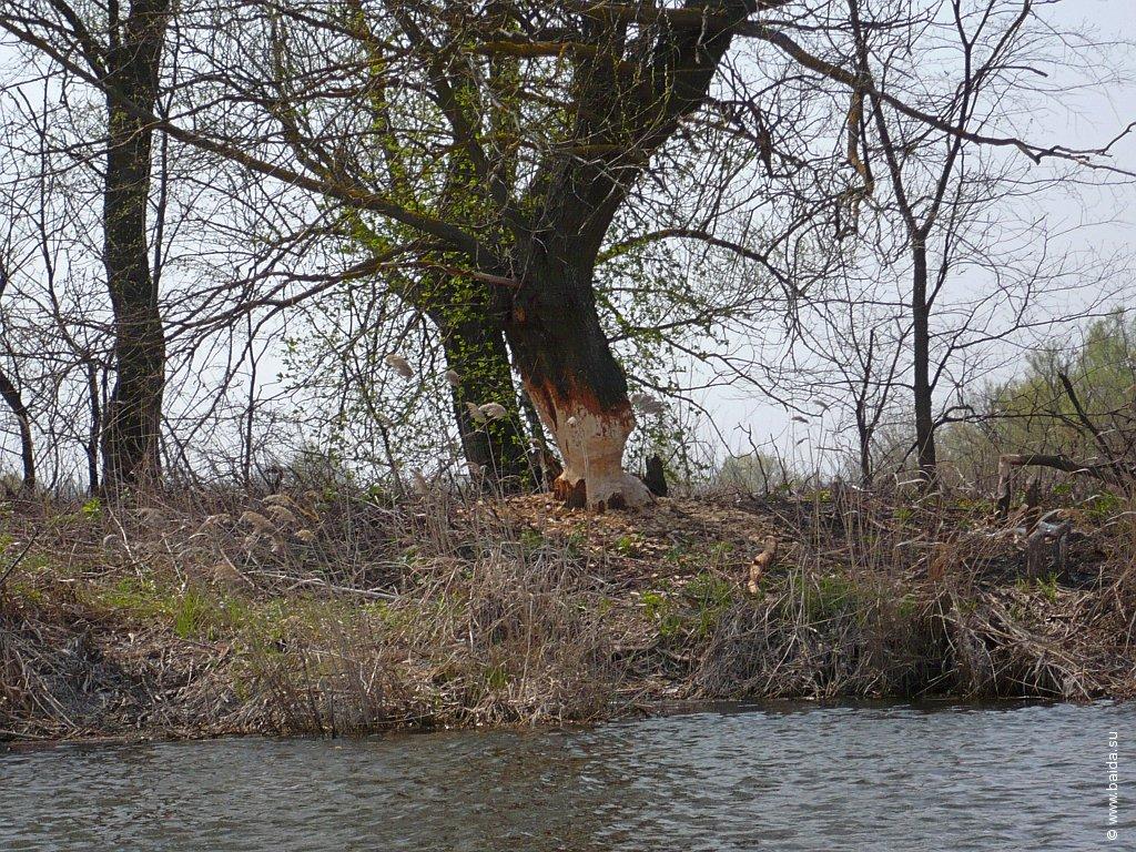 Надкусанное дерево