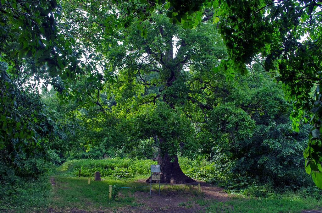 Многовековой дуб